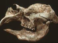 Diprotodon skull