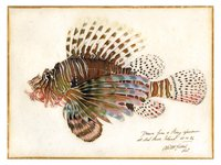 Lion Fish drawing