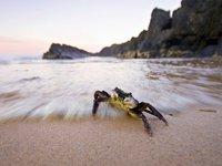 Swift-footed Crab (Leptograpsus variegatus)