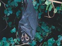 Pteropus conspicillatus
