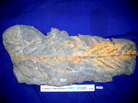 Fern fossil, Cladophlebis australis