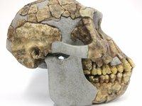Sahelanthropus tchadensis Toumai skull