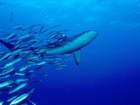 Galapagos Shark