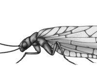 Megaloptera