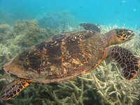 Green turtle, Lizard Island