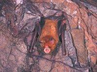 Rhinonicteris aurantius