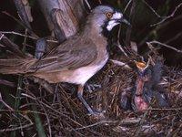 AMS405/142 Crested Bellbird