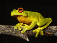 Australian Red-eyed Tree Frog