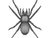 Spider - Araneae