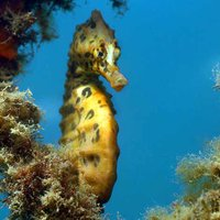 Syngnathidae - Pipefishes and Seahorses - The Australian Museum