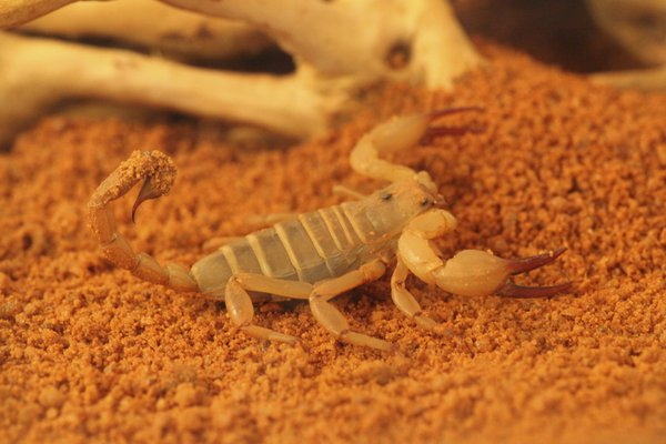 Australian Desert Scorpion
