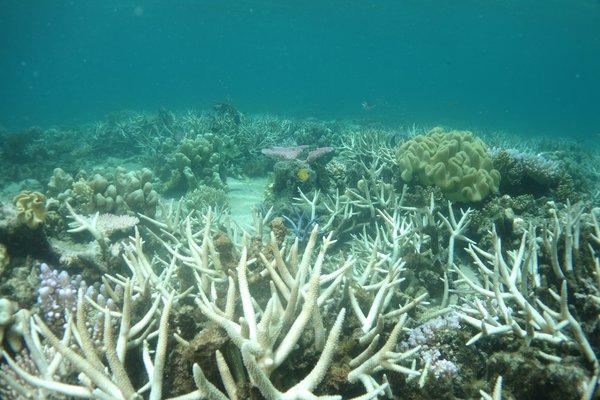 Coral Bleaching Lizard Island