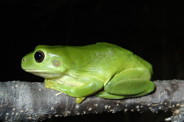 Green Tree Frog (Litoria caerulea)