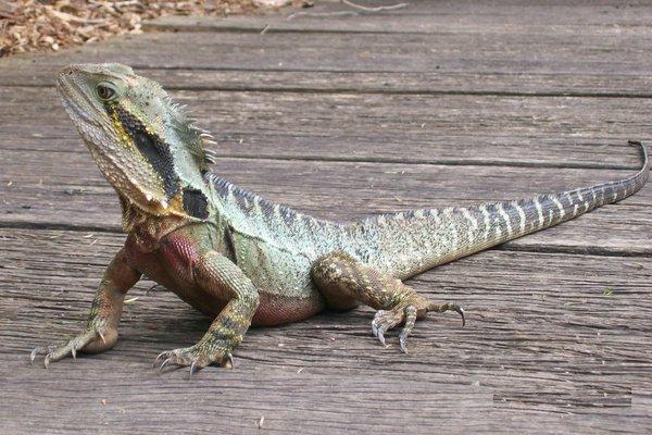 Eastern Water Dragon, P.l. lesueurii at Currumbin Sanctuary