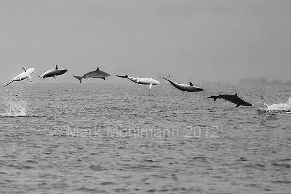 Spinner Shark, Carcharhinus brevipinna