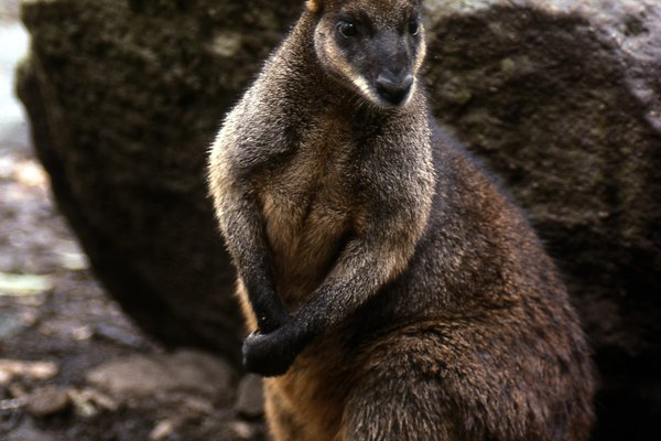 Australia Biota evolution, A Swamp Wallaby