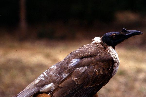 Noisy Friarbird, Philemon corniculatus