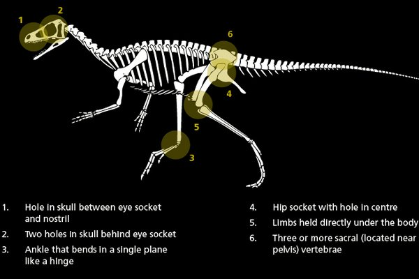 Eoraptor diagram
