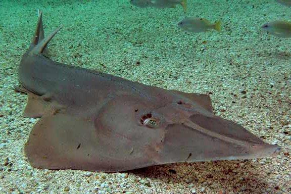 Giant Shovelnose Ray, Glaucostegus typus