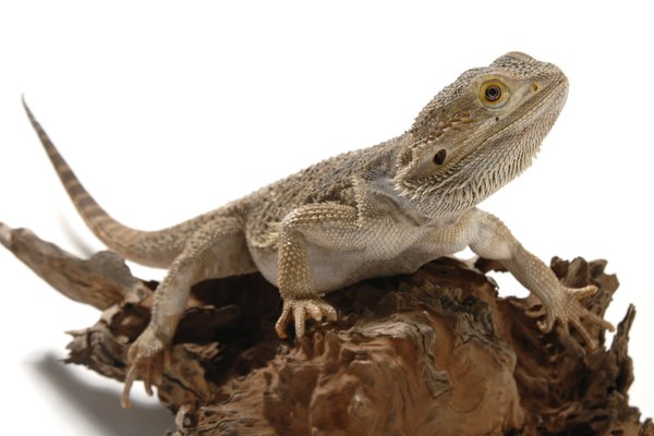 Western Bearded Dragon