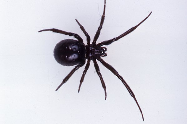 A female cupboard Spider