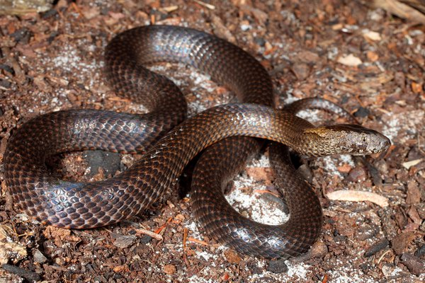 Golden-crowned Snake, Cacophis squamulosus