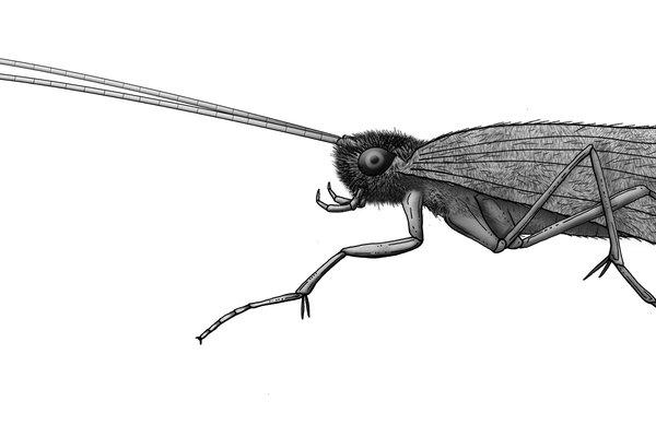 Trichaptera