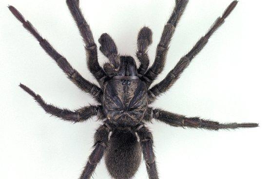 Brown trapdoor spider, Misgolas rapax