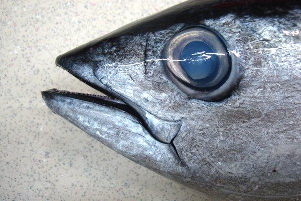 I.45217-001 Thunnus albacares Yellowfin Tuna, Thunnus albacares
