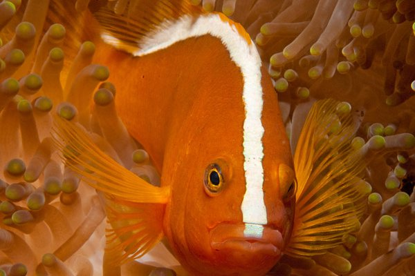 Orange Anemonefish, Amphiprion sandaracinos