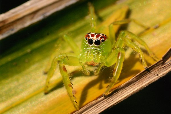 The Hunter (Green Jumping Spider) - Dieter Tracy,