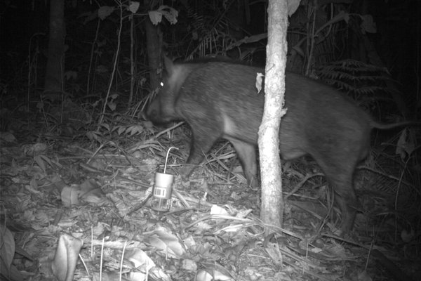 Camera Trap - Wild Pig