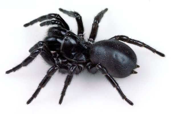 Female Blue Mountains Funnel-web Spider, (Hadronyche versuta)