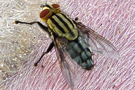 Flesh flies - Family Sarcophagidae
