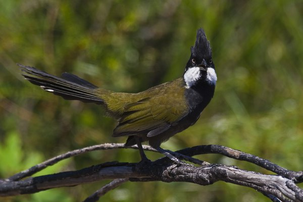 Psophodes olivaceus, Eastern Whipbird on branch.