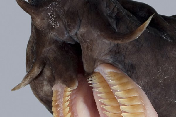 Broadgilled Hagfish teeth
