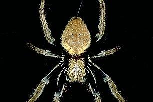 Eriophora (Araneidae)