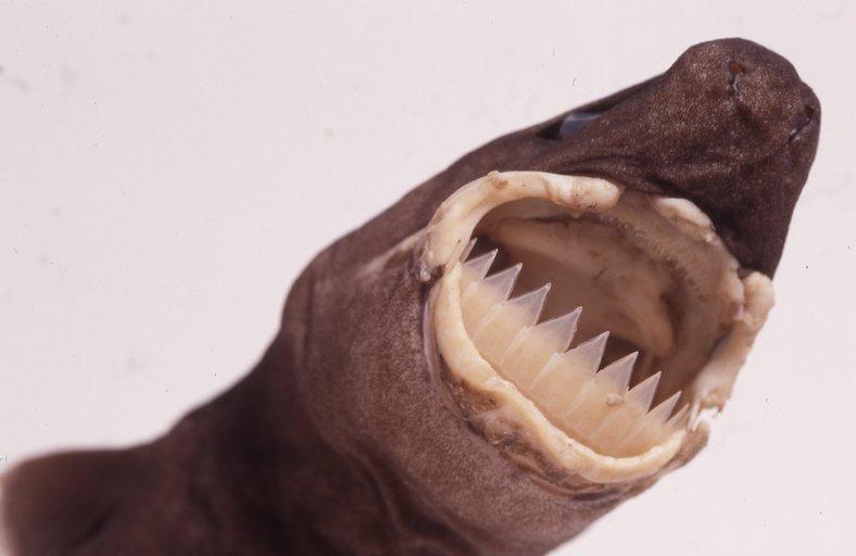 Largetooth Cookiecutter Shark, Isistius plutodus