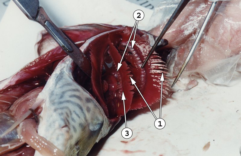 Fish Dissection - Gills exposed