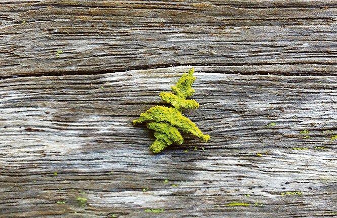 Caterpillar belonging to genus Anisozyga