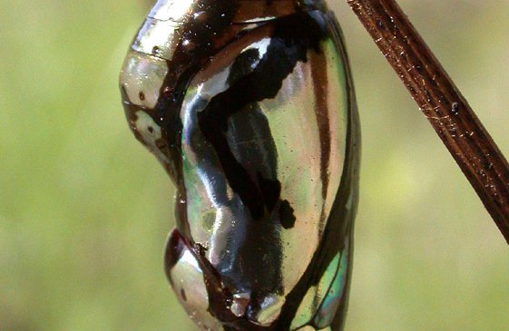 Chrysalis (pupa) of Common Crow or Oleander Butterfly, Euploea core.
