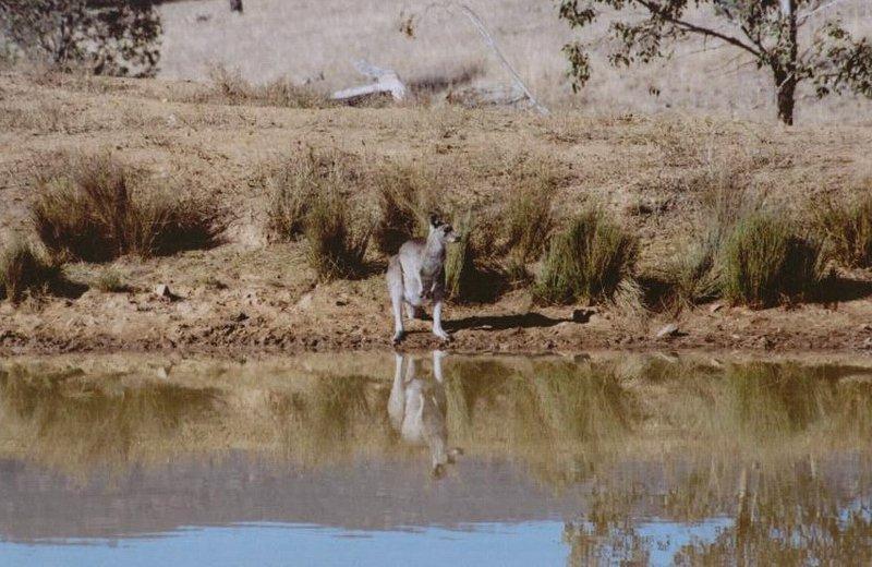 Eastern Grey Kangaroo Drinking