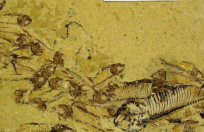 Eocene fossil F.130787