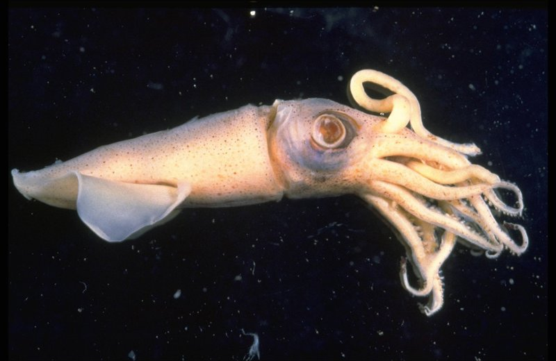 Deepwater squid, Loligo