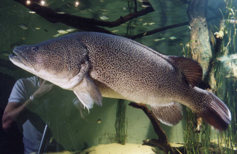 Murray Cod Maccullochella peelii at Sydney Aquarium
