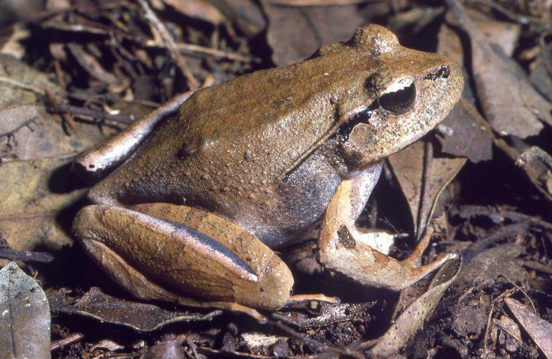 Lechriodus fletcheri