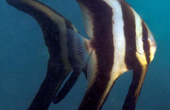 Roundface Batfish, Platax teira
