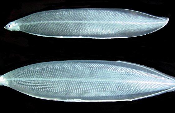 Anguilla australis and A. marmorata leptocephali