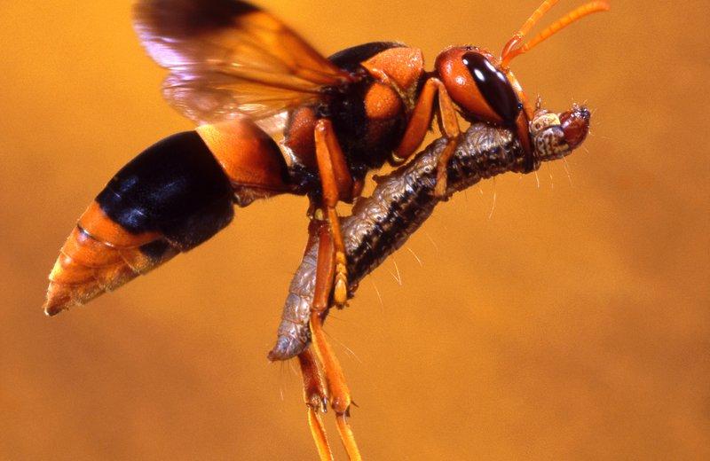 Abispa Wasp and Caterpillar - Raoul Slater