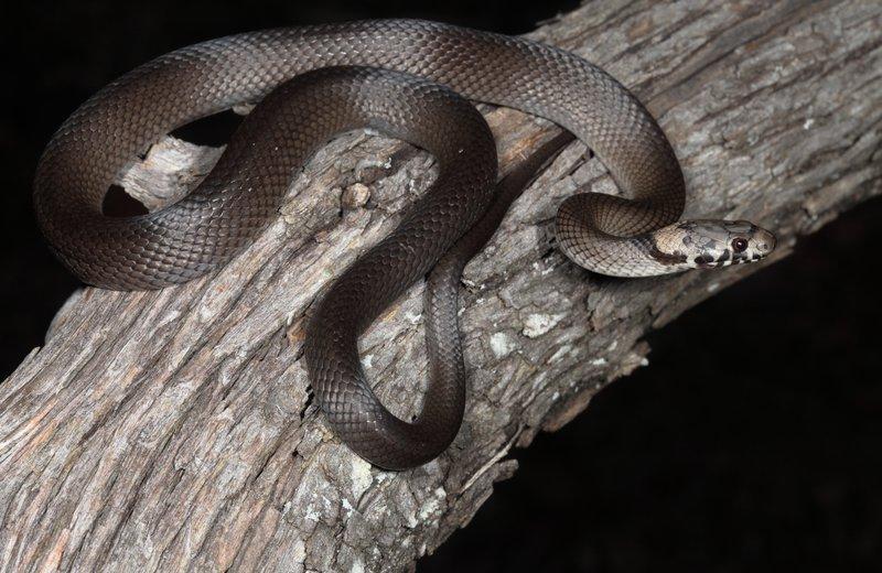 Pale-headed Snake - Hoplocephalus bitorquatus